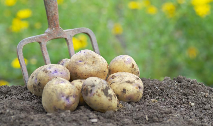 Если снится что сажаешь картофель 565
