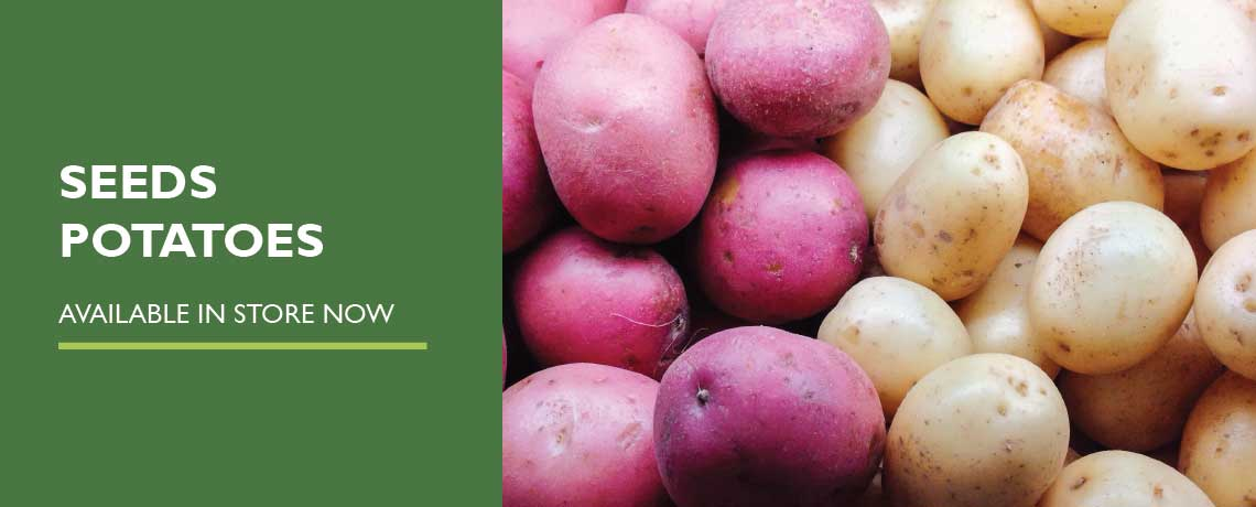 Seed Potatoes – Now in Stock
